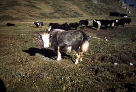19791000-BC周辺に放牧されているヤク.JPG